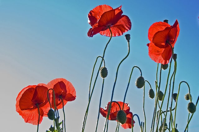 summer welath, flanders, red poppy flower