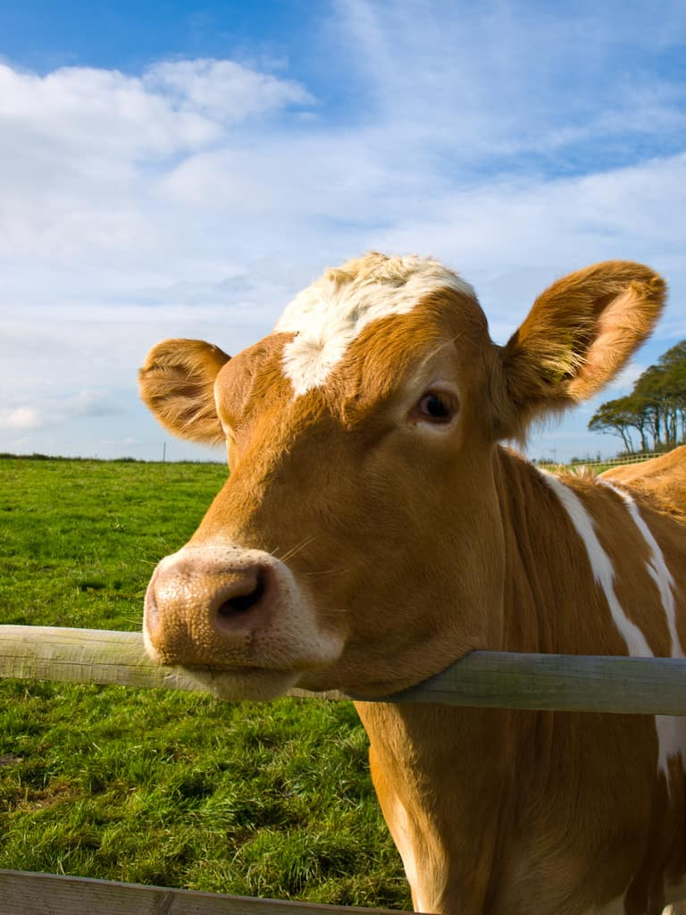 beautiful cow, cow, brown cow
