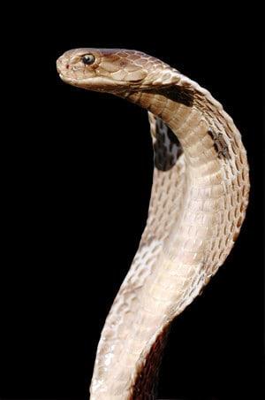 Cobra-Sep-1