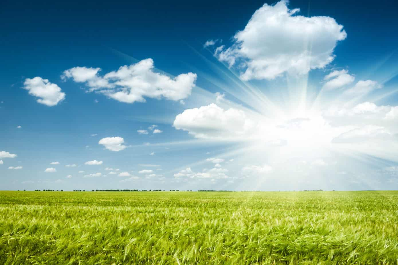 Sunny green wheat field