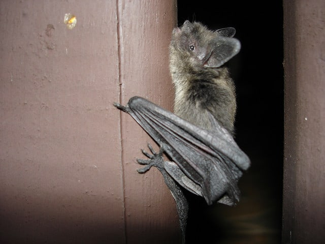 A History of Bats In The UK